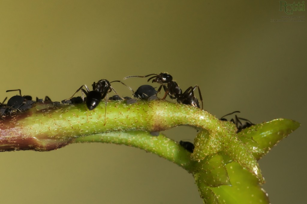 "Ants shepherding their ""cows"""